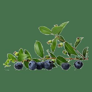 Bilberry leaves