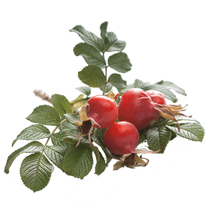Rose Hips from the hedgerow